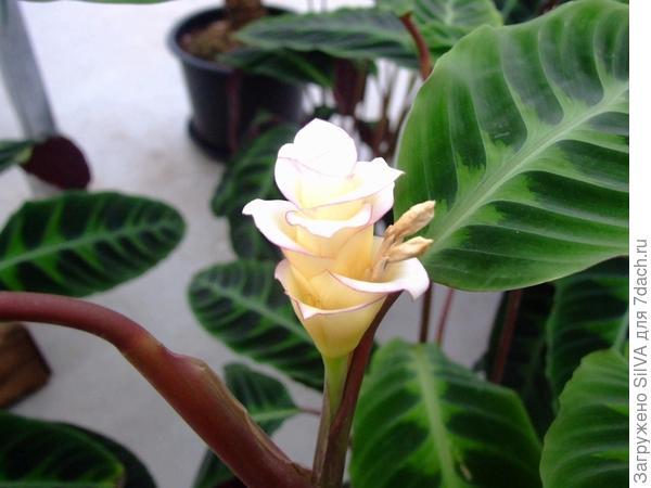 калатея полосатая с цветком