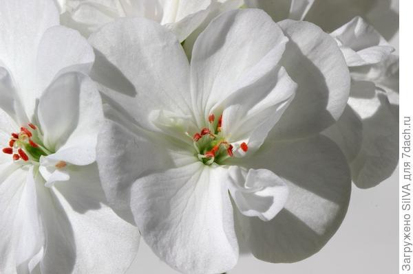 пеларгония белая