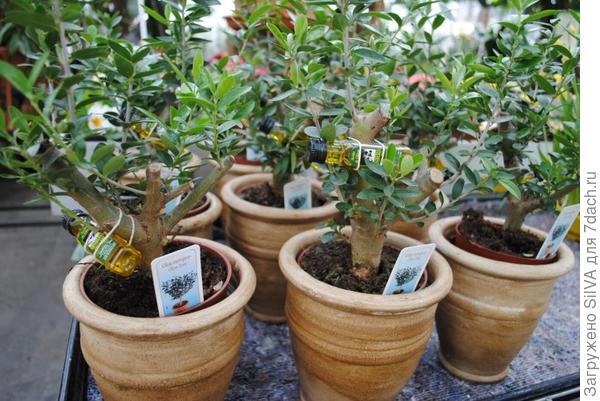 цитрусовые деревья лимона и апельсина