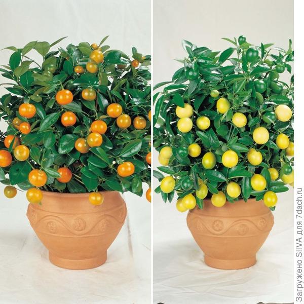 декоративное лимонное и апельсиновое дерево