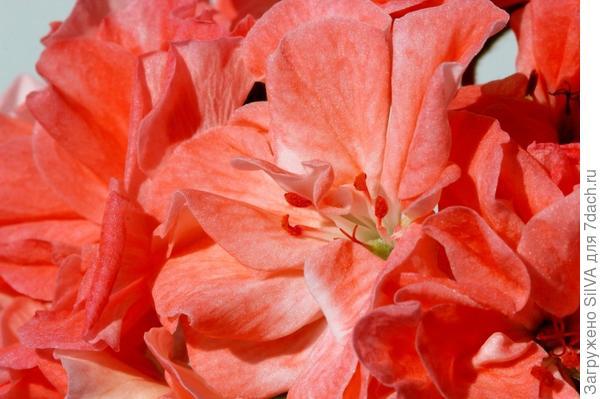цветки красной пеларгонии