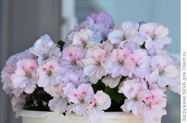 нежные цветки пеларгонии