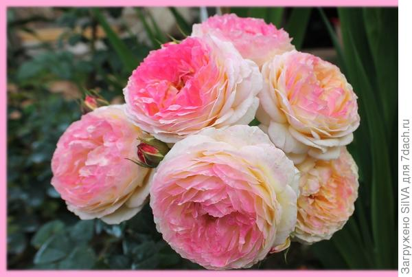 Роза Розаман Жанон Rosomane Janon Massad Франция, 2001