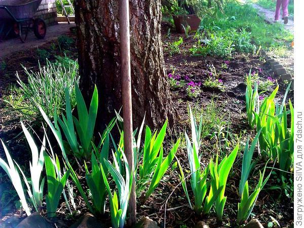 Соседи березы: виолы, ирисы, прижившиеся, но так и не зацветшие нарциссы