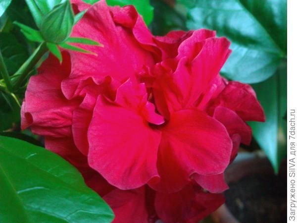 китайская роза в цвету
