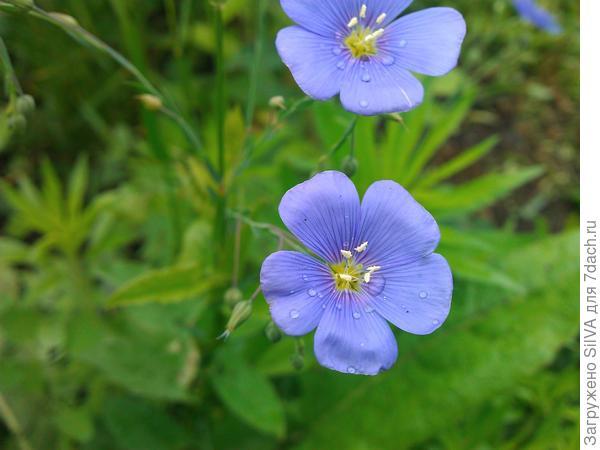 Синие цветочки льна!