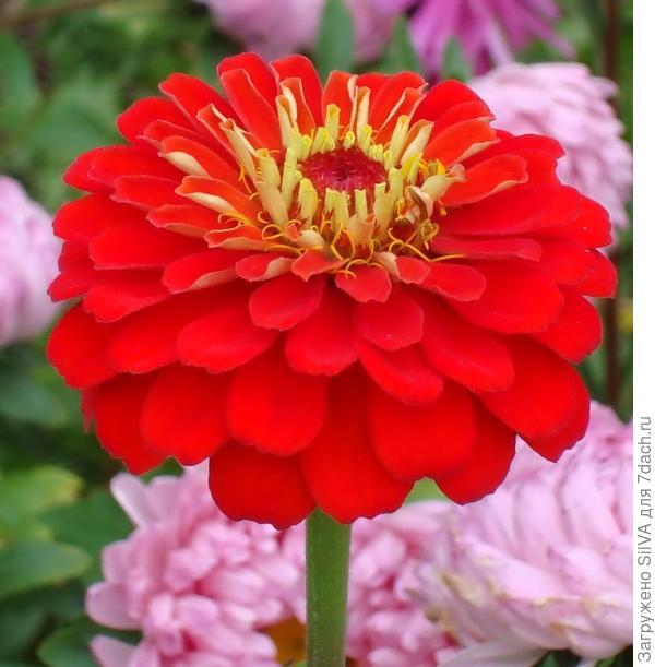 цветы цинии посадка и уход