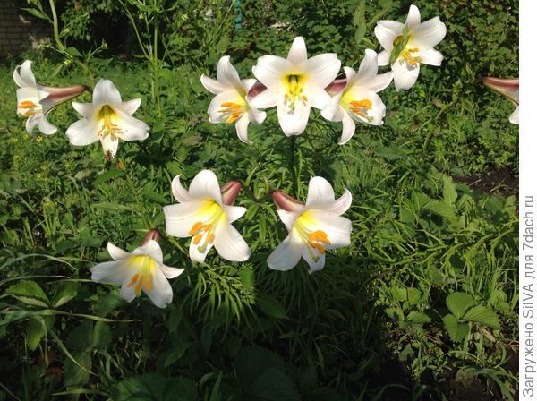 Лилии ароматные