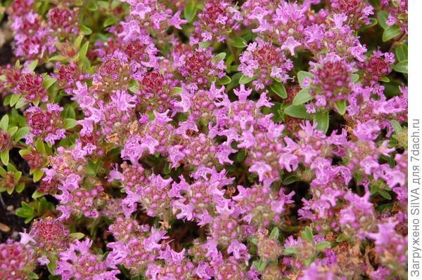 Thymus serpyllum L