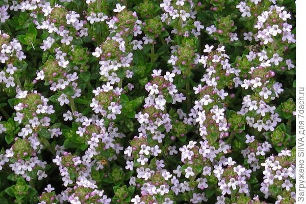 Thymus vulgaris L