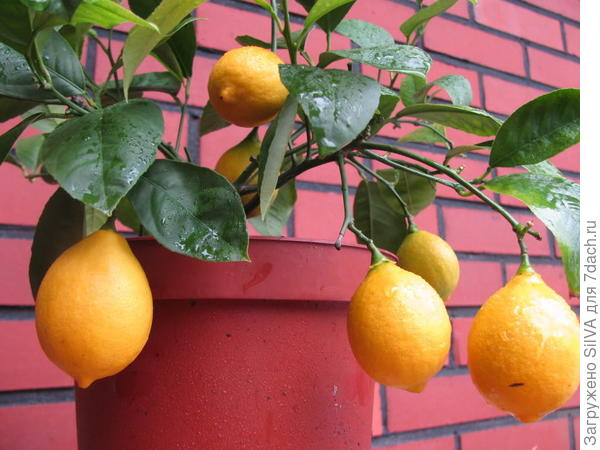 Домашний лимон
