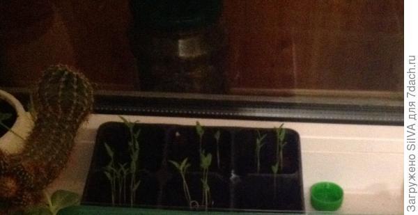 ночное фото рассады помидор