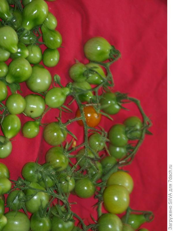 начало дозревания помидор