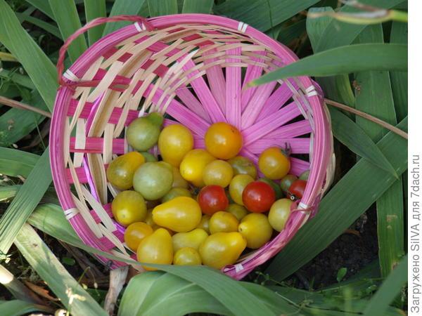 Кустовые томаты Желтая жемчужина
