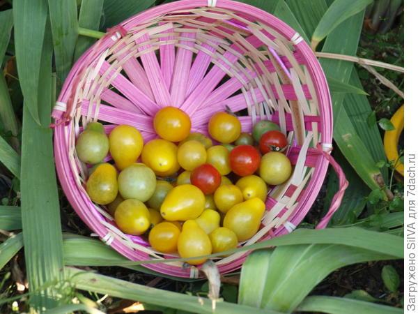 Цветовой микс из кустовых помидор