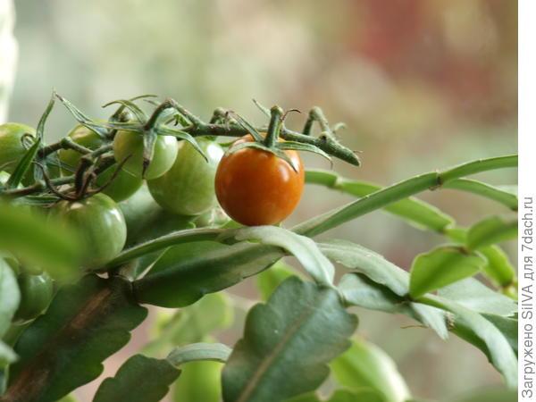 томат кустовой Желтая жемчужина