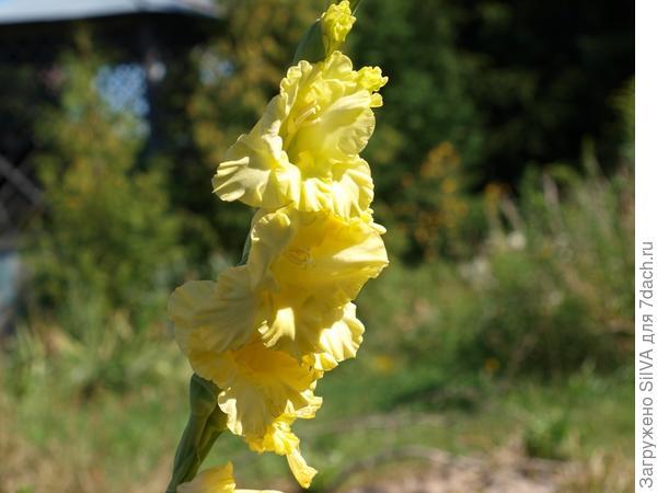 желтый гладиолус