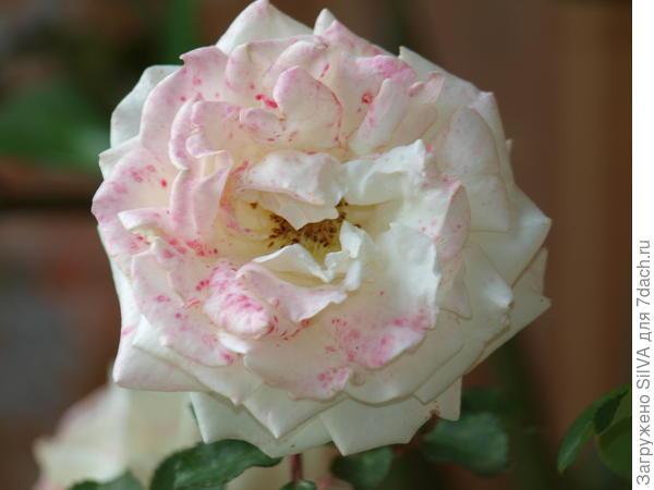 заболевшая белая роза