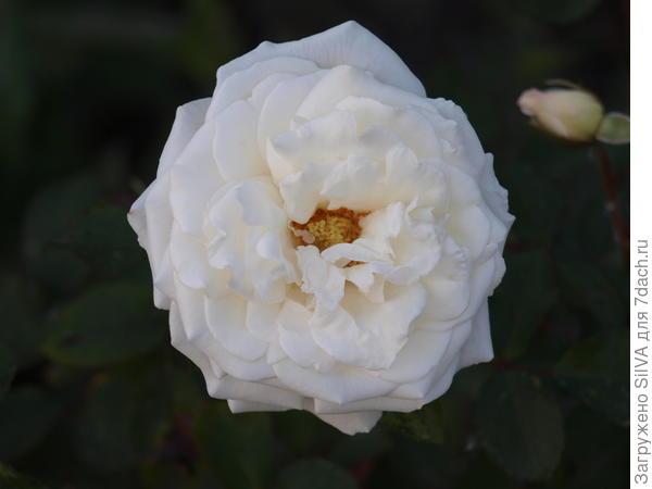 белая роза после опрыскивания и добавления в почву золы
