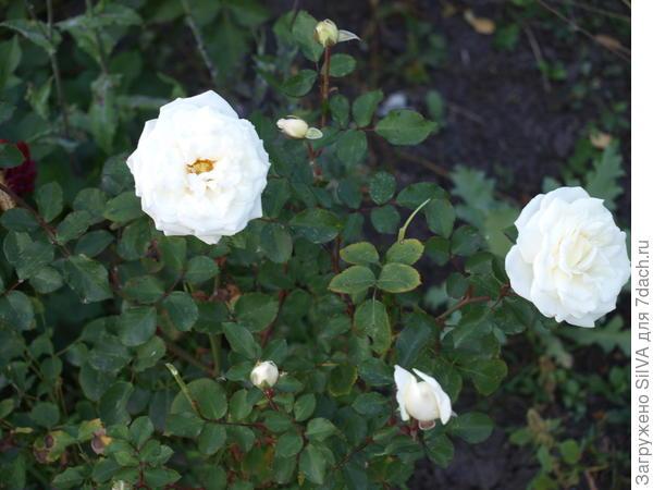 новый урожай белой кустовой розы