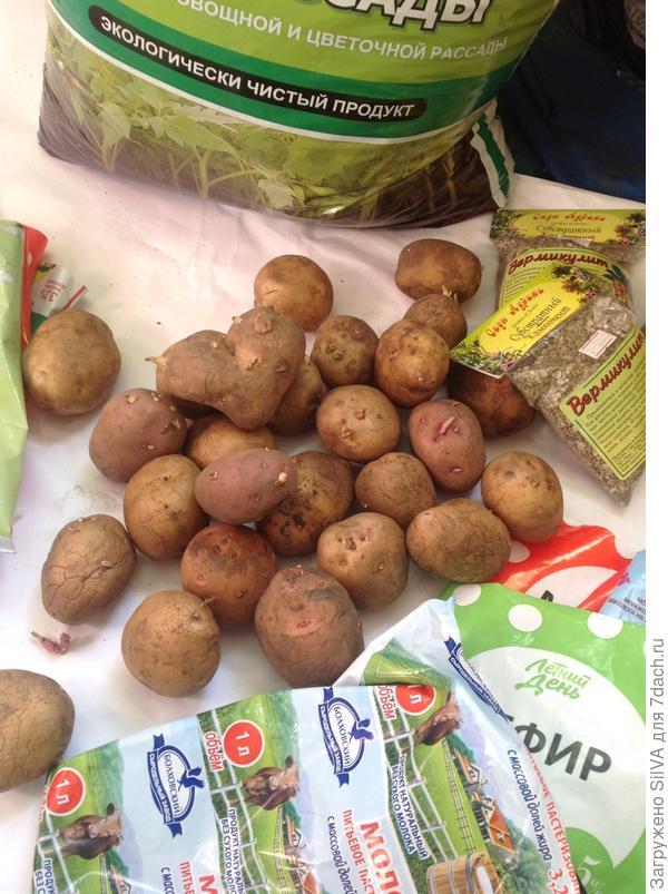 картофель с глазками для посадки