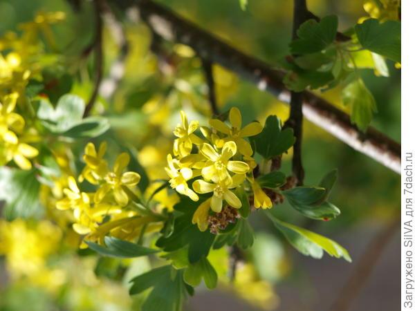 желтые цветки смородины душистой