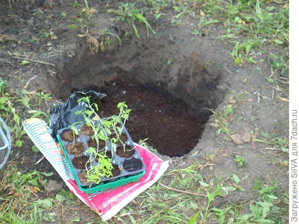 рассада помидор для ямы