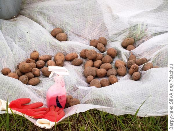 картофель перед обработкой