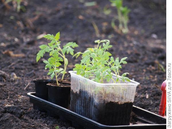 помидорный десант к высадке готов