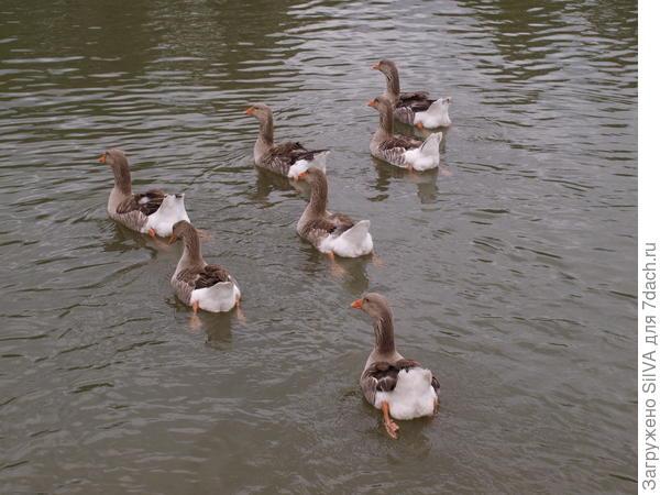 отплывающие гуси