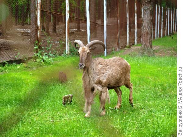 винторогая коза