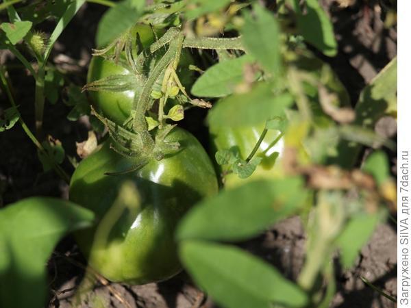 мои томаты