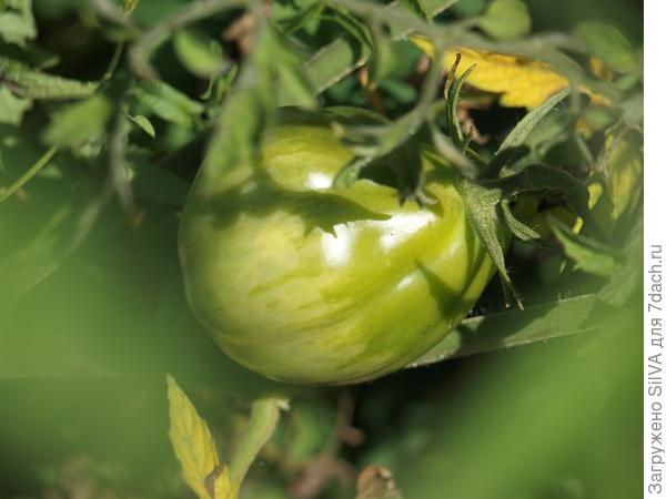 сливовидные томаты