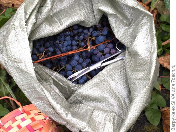 виноград собран
