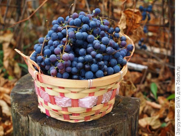 Сбор  компотного винограда