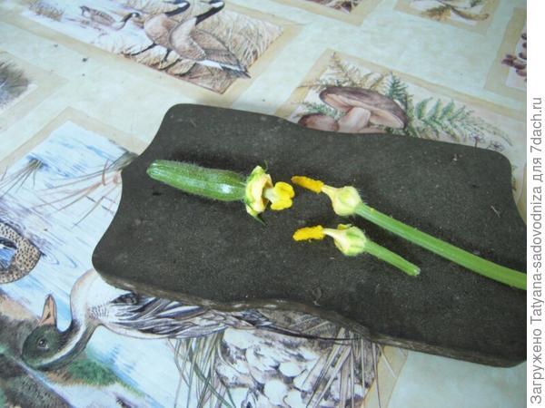 Кабачок: женский и мужской цветок. Фото с сайта meteoclub.ru