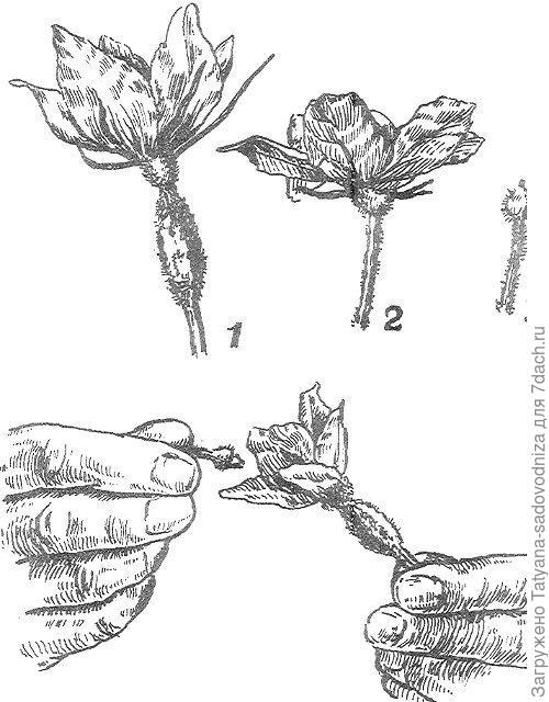 Огурец: ручное опыление. Фото с сайта virastisad.ru