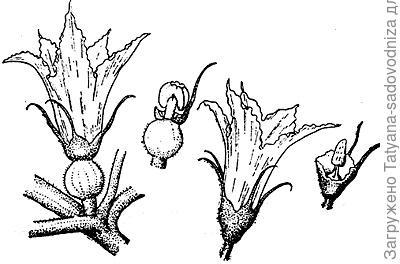 Кабачок: женский и мужской цветок. Фото из интернета