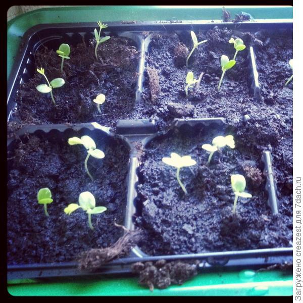 Выращивание мимозы в домашних условиях.