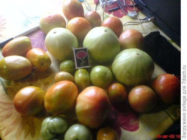 Самые вкусные помидоры! Потому что - свои!!!