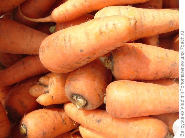 Целебная морковь