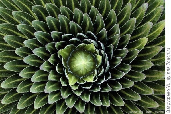Гигантская лобелия Листья гигантского растения лобелии, сфотографированного на плато Шира (гора Килиманджаро) в Танзании, окружают центр по спирали.