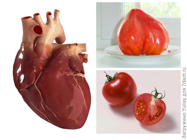 Помидор или томат обыкновенный и сердце