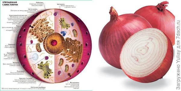 Луковица репчатого лука и структура клетки
