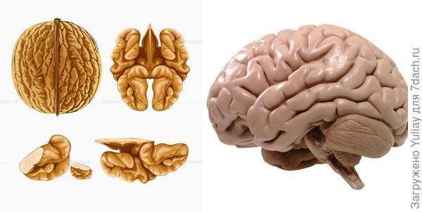 Ядро грецкого ореха и мозг человека