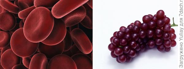 Виноград и эритроциты
