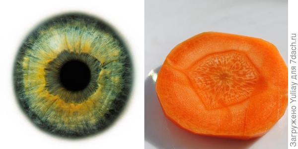 Срез моркови и радужная оболочка глаза