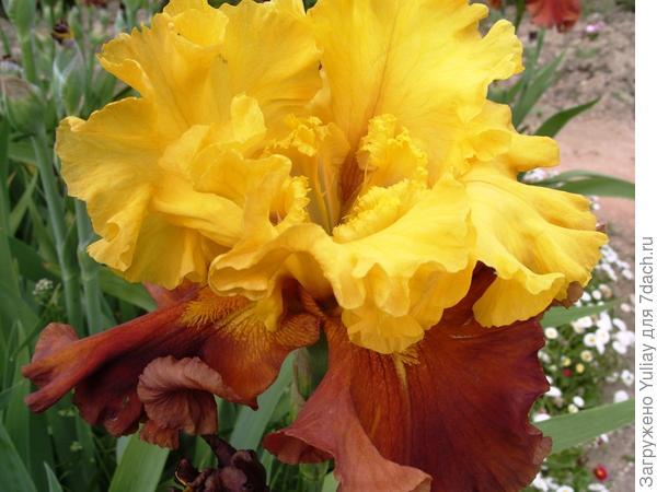 коричнево-желтый сорт 'ArabianStory', который имел пряный аромат ванили, чуть-чуть освеженной цитрусовыми нотками