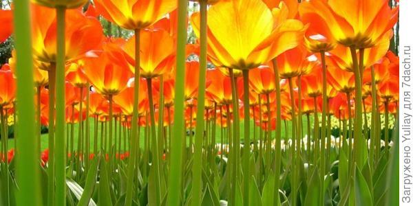 лес из тюльпанов