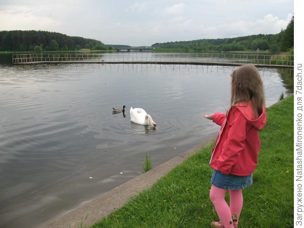 когда приходит весна кормим Лебедей на нашем пруду.